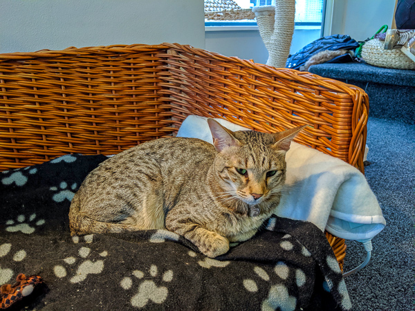 A tabby cat resting and relaxing at Manchester Cat Cafe - one of the awesome cat cafes in the UK
